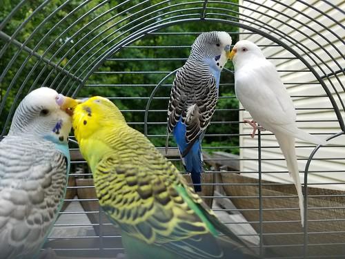 Brennan's parakeets