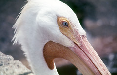 stork(0.0), marabou stork(0.0), ibis(0.0), animal(1.0), pelican(1.0), fauna(1.0), close-up(1.0), ciconiiformes(1.0), beak(1.0), bird(1.0), seabird(1.0), wildlife(1.0),