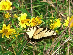 prairie(0.0), nectar(0.0), colias(0.0), monarch butterfly(0.0), pollinator(1.0), animal(1.0), moths and butterflies(1.0), butterfly(1.0), flower(1.0), yellow(1.0), plant(1.0), nature(1.0), invertebrate(1.0), macro photography(1.0), lycaenid(1.0), wildflower(1.0), flora(1.0), fauna(1.0), close-up(1.0), meadow(1.0), wildlife(1.0),