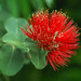 ohia lehua - Photo (c) Eric in SF, some rights reserved (CC BY-NC-ND)