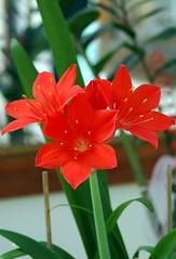 Clivia&Fire lily.