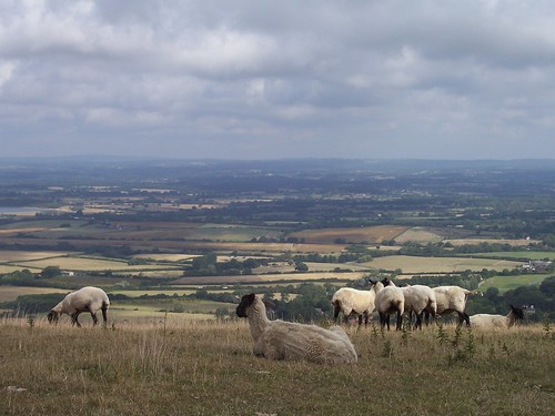 Sheep on Windover Hill