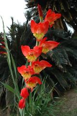canna lily(0.0), crocosmia(0.0), flower(1.0), leaf(1.0), red(1.0), plant(1.0), gladiolus(1.0), flora(1.0),