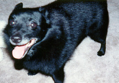 lapponian herder(0.0), puppy(0.0), shiba inu(0.0), german spitz(0.0), karelian bear dog(0.0), norwegian elkhound(0.0), animal(1.0), dog(1.0), pet(1.0), mammal(1.0), schipperke(1.0), black(1.0),
