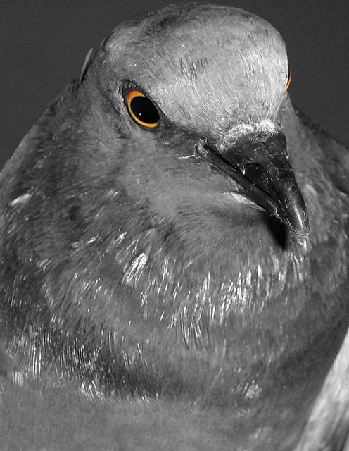 angry pigeon - photo #9