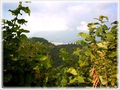 agriculture(0.0), flower(0.0), grape(0.0), food(0.0), shrub(1.0), leaf(1.0), tree(1.0), plant(1.0), produce(1.0), vineyard(1.0),