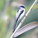 Small photo of Mito 00 Long-tailed Tit Aegithalos caudatus