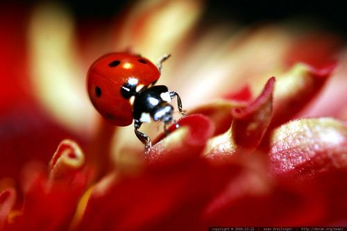 ladybug head    MG 2716