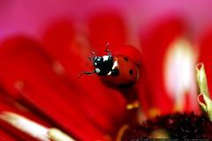 ladybug backflip     MG 2760