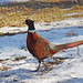 Small photo of Ring-necked Pheasant