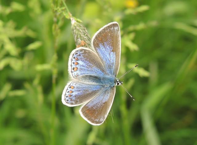 Common Blue Polyommatus icarus, Nikon COOLPIX P7700