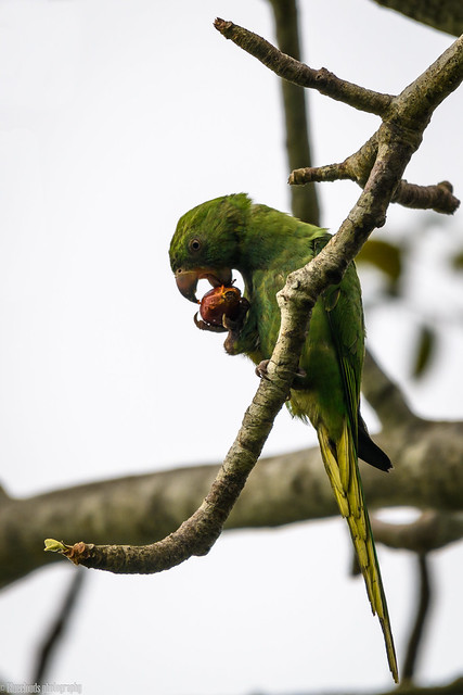 CHU_0531-2 ( Rose ringed Parakeet)