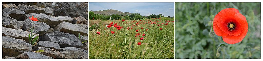 Poppies 00