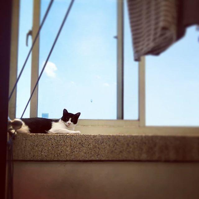 20180527 糖蜜很愛頂樓曬衣間 每次我一打開洗衣 她就會喵喵喵的奔上去曬太陽 有時 衣服好了我忘了上去曬 糖蜜就會從頂樓沿路喵下樓 到我面前繼續喵 彷彿是在提醒我該曬衣服了 #戴家日常 #戴家黑糖蜜 #cats #livingwithcats #catslovesun