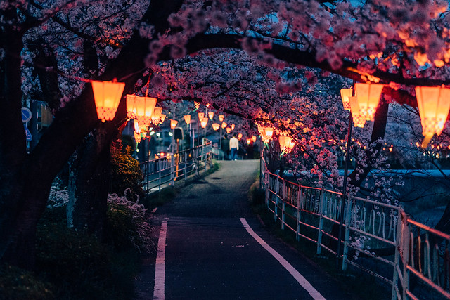 CherryBlossoms_40