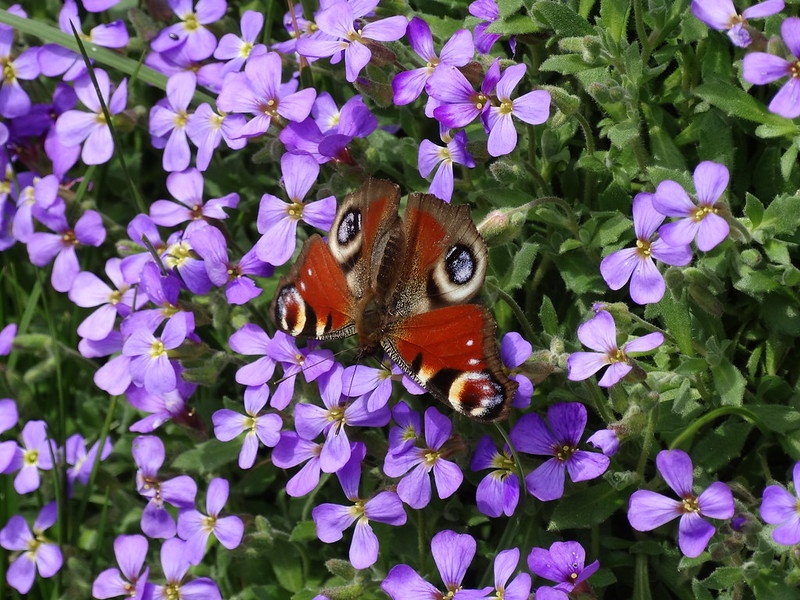 Peacock Butterfly on Aubretia