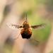 Dotted bee-fly in flight by Steve Balcombe
