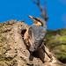 Nesting Nuthatch