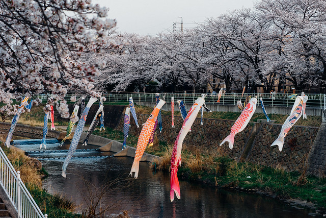 CherryBlossoms_51