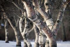 Icelandic Birch