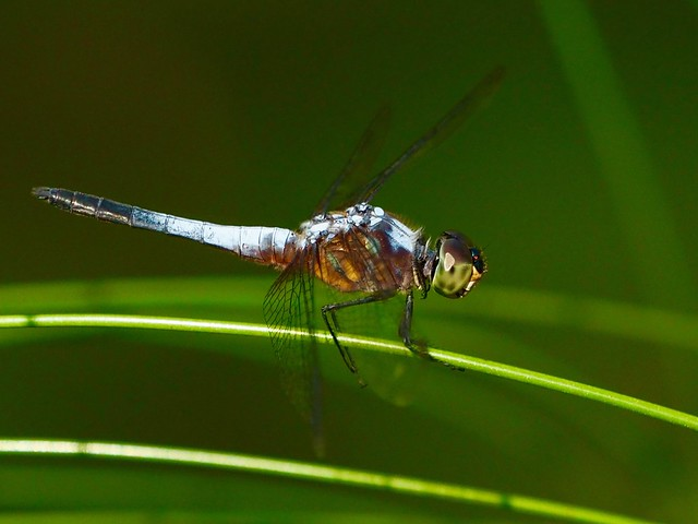 This is possibly a 'Pond Adjudant' Dragonfly. Botanical gardens, Singapore. 16/05/2018
