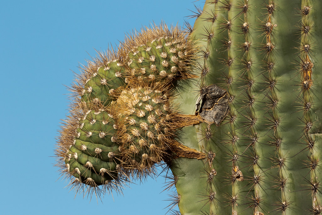 Small growths resemble a large nose on the side of a saguaro cactus on the Gateway Loop Trail at the McDowell Sonoran Preserve in Scottsdale, Arizona