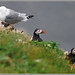2018 05 28 RSPB Bempton Cliffs _0326Puffin*