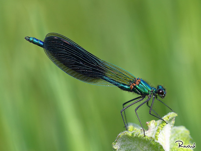 Calopteryx xanthostoma (Charpentier, 1825)