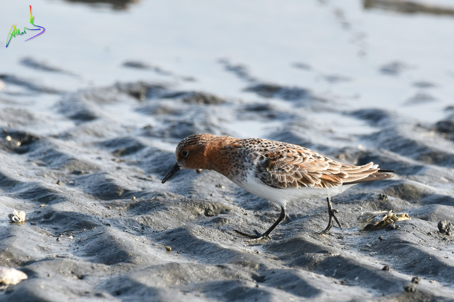 Red-necked_Stint_1532