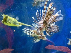 Lionfish and Friends