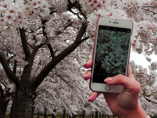 Immortalize the cherry blossom EXPLORED!