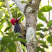 Pale Billed Woodpecker (Hugh Tottle)