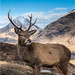 Glen Etive Stag by Mark Rivers Photography