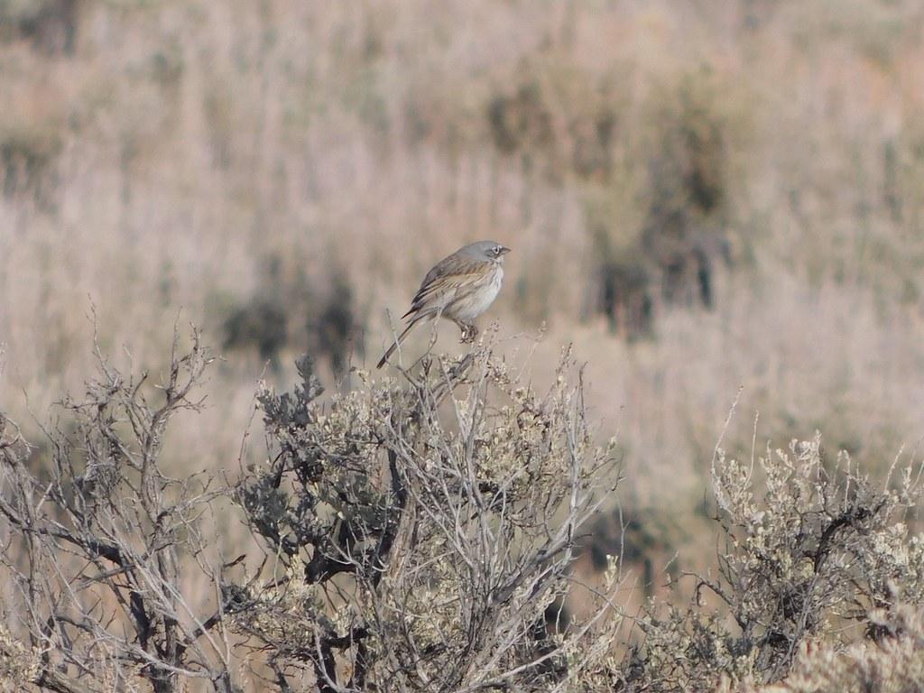 Sagebrush Sparrow on Fort Road