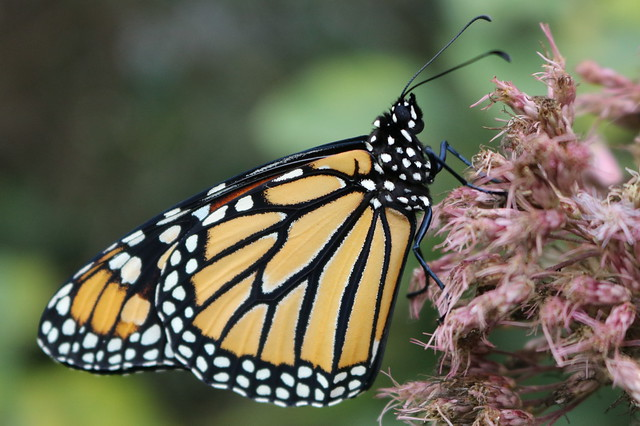 Side view of a monarch butterfly perched on joe-pye weed, facing right.