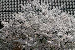 Sakura April 2018
