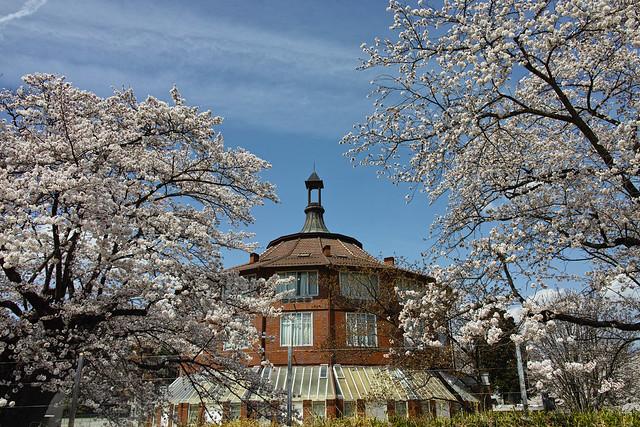 清治芸術村のソメイヨシノ