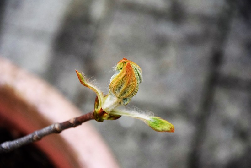 Horse Chestnut Leaf Buds 10.04 (10)