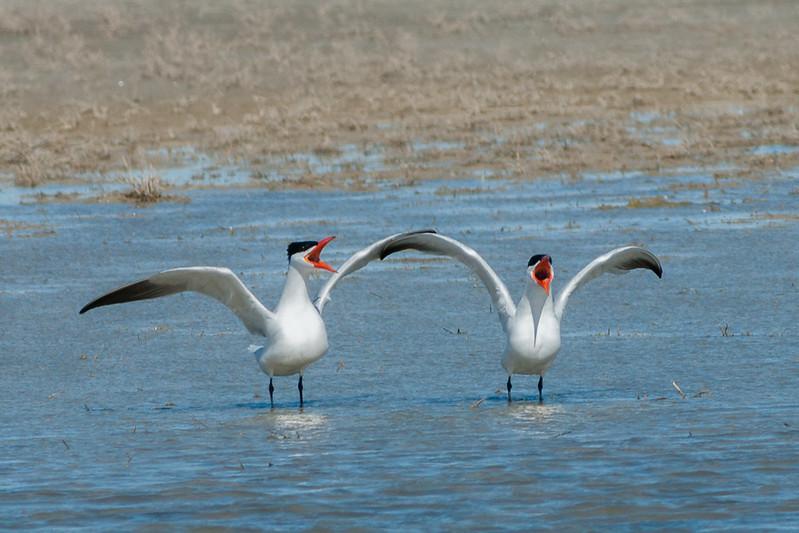 Pair of caspian terns, Hydroprogne (Sterna) caspia