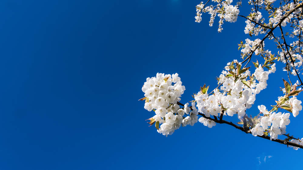 Kirschblüte_Eggenertal_047