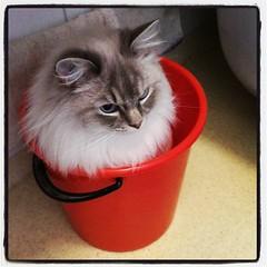 Knäppkatt! :heart_eyes: Efter en lång stunds obligatoriskt morgongos och högljutt spinnande sitter han under badkaret, bakom toalettstolen, eller som här: i hinken. #wille #kattvakt