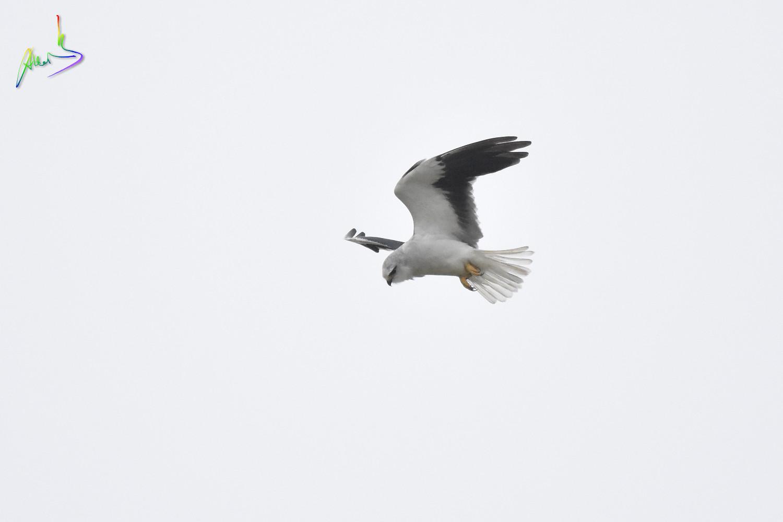 Black-winged_Kite_2458