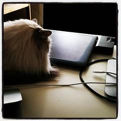 En katt bland datorerna. #jobbahemma #kattvakt #wille