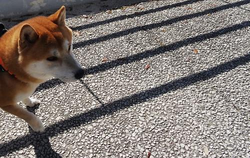 Dog or fox ?
