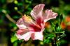 Photo:Hibiscus in The  Ofuna Botanical Garden, Ofuna, Kamakura : ハイビスカス(神奈川県立フラワーセンター大船植物園) By Dakiny