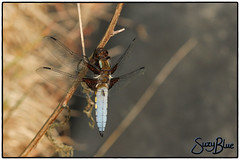 Broad-bodied Chaser dragonfly (m)