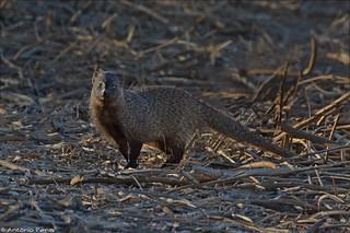 Egyptian Mongoose - Sacarrabos
