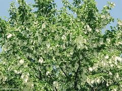 Taschentuchbaum / Handkerchief tree