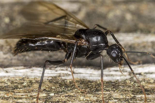 Male carpenter ant  Camponotus?