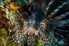 LionFish fin spread 0577
